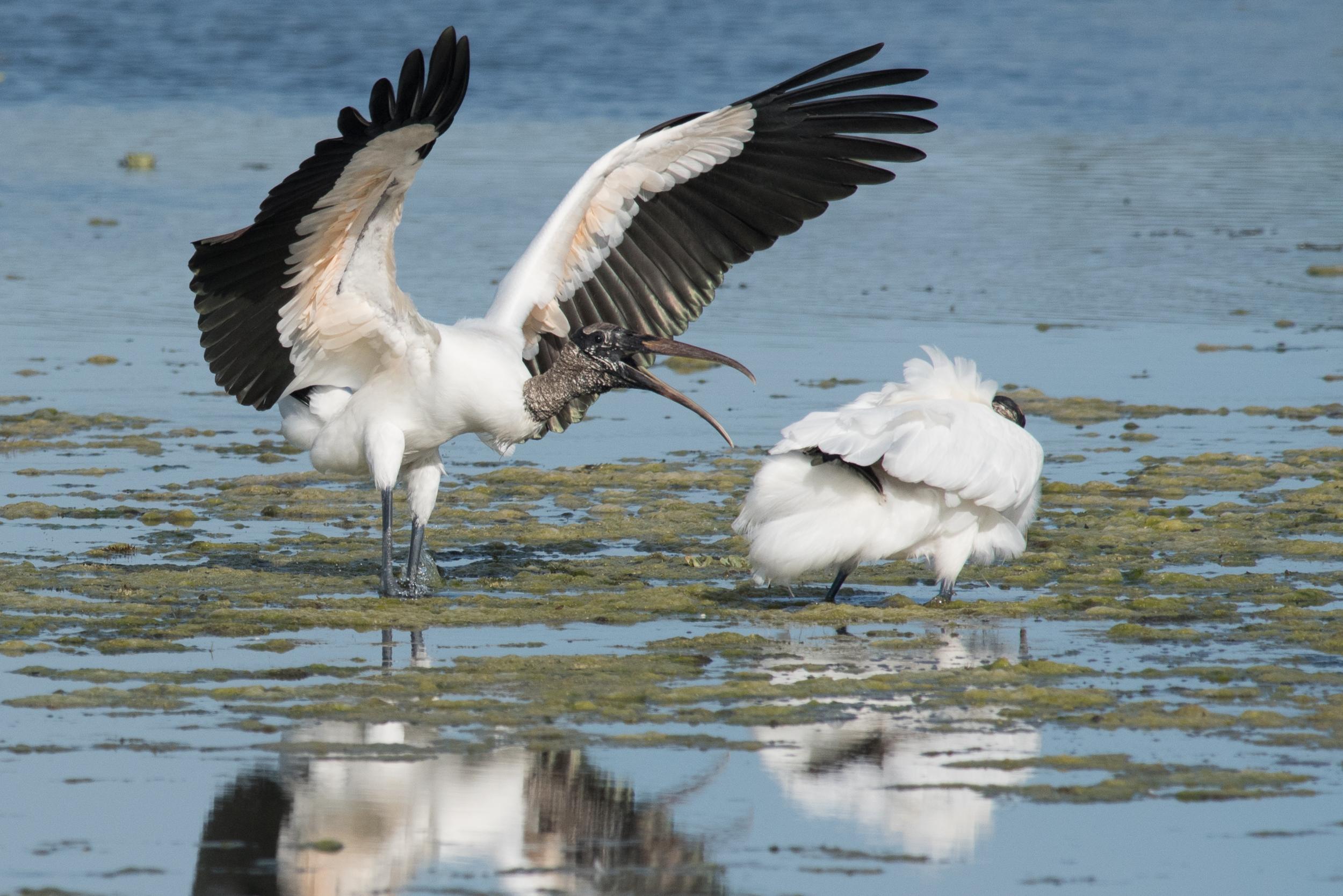 Wood Storcks