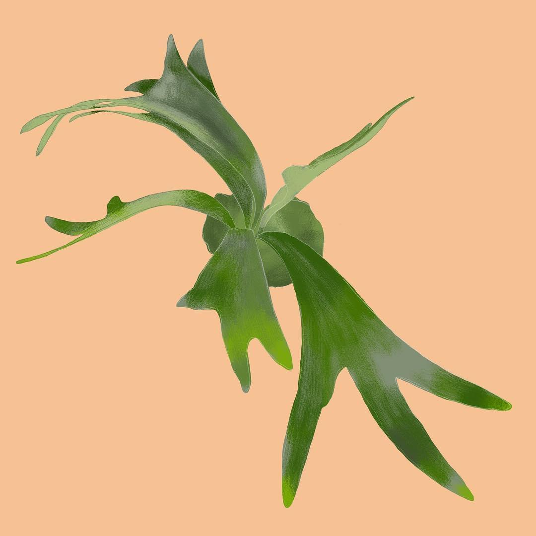staghorn-fern.jpg