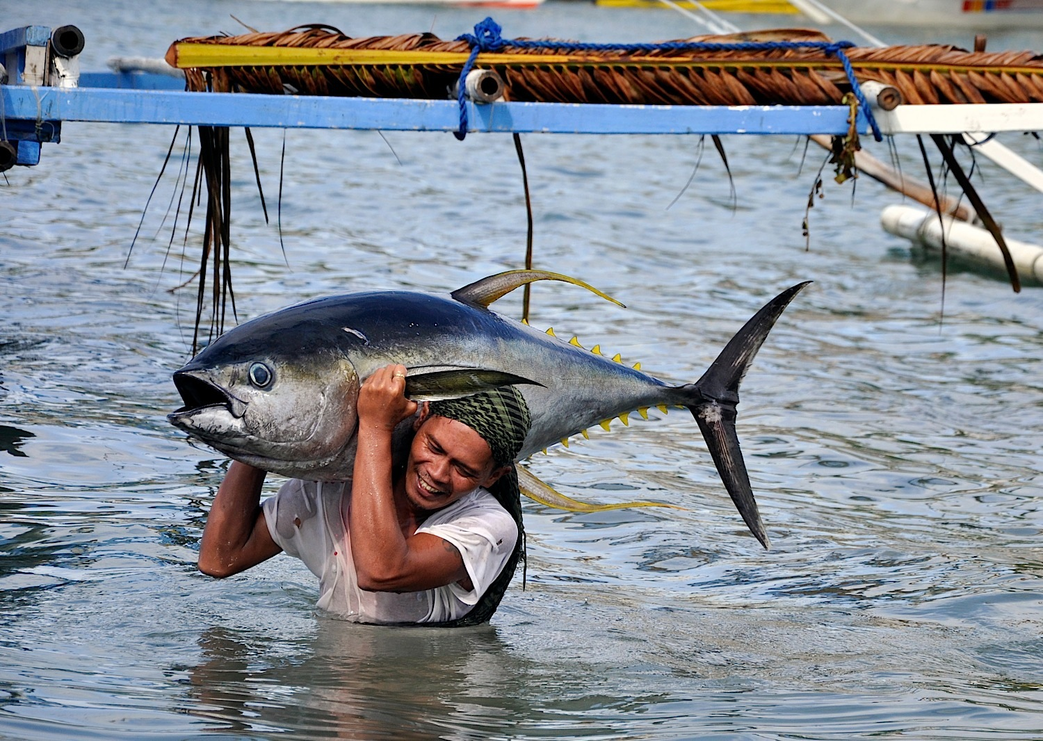 One in three tuna are caught in the Indo-Pacific Region. To ease pressure on flagging stocks while retaining profit, many fishermen are turning to low-impact systems. A yellowfin tuna handliner brings in the catch of the day in Mindoro, Philippines.  (Photo by Gregg Yan)