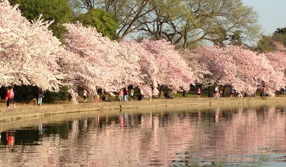 CherryBlossomsinWestPotomacPark,Washington,D.C.,alegacyofformerFirstLadyHelenHerronTaft (PhotobySharonTee)