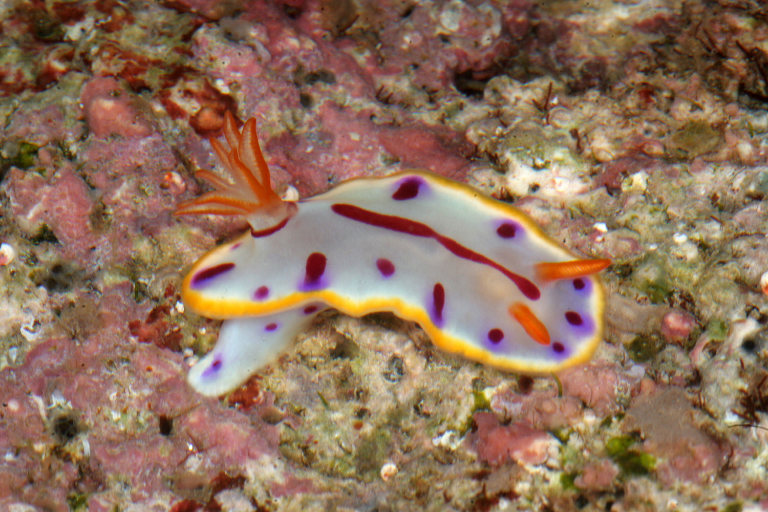 Jewel of the sea: One of the new species of Hypselodoris nudibranchs found in Mainit, Batangas by Dr. Gosliner. (Photo by Terrence Gosliner, California Academy of Sciences)