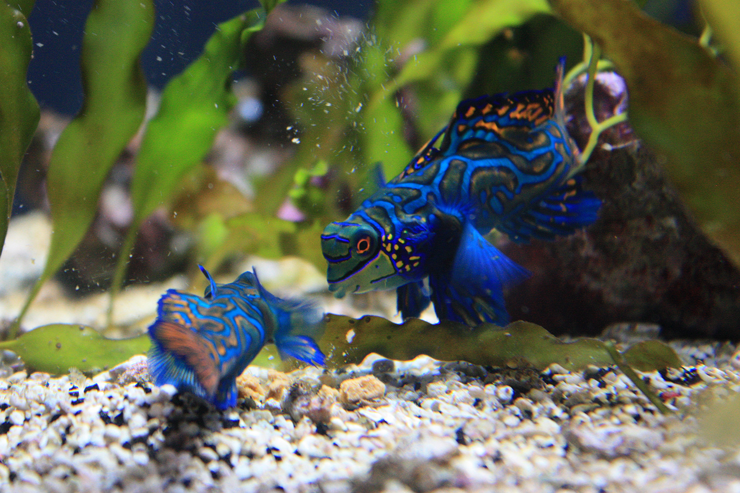 A pair of tiny mandarin dragonets from the Philippines on display at the Steinhart Aquarium in the California Academy of Sciences.  (Photo by Astrid M. Barros)