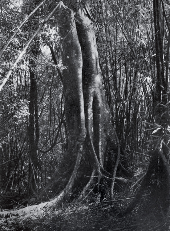 The Balete Tree (Source: wikipedia)
