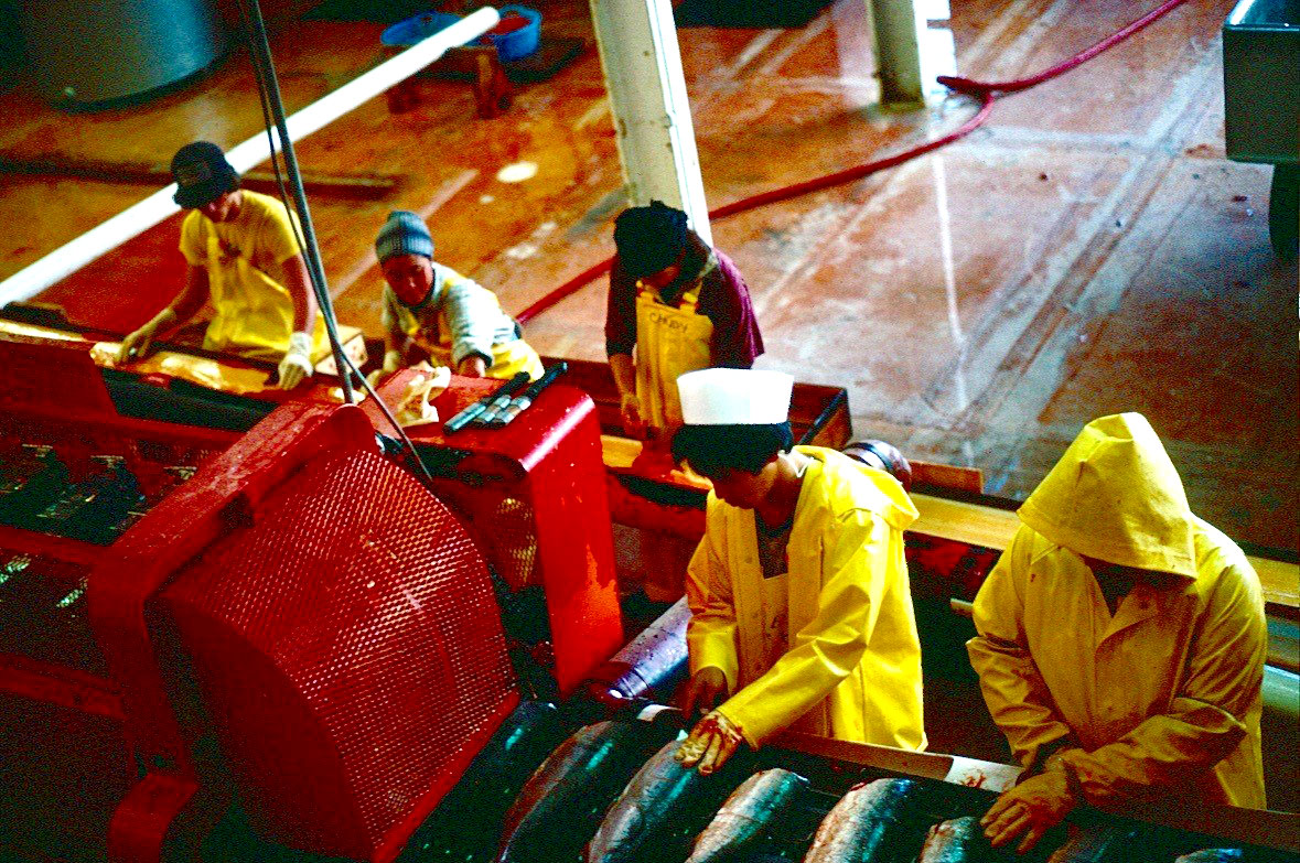 """Egg pullers"" were in charge of pulling the fish egg skeine out after the ""egg extractor"" (red equipment on the left) pushed down the body of the fish thus causing the eggs to protrude from the body. (Photo by Steve Connelly, 1978)"