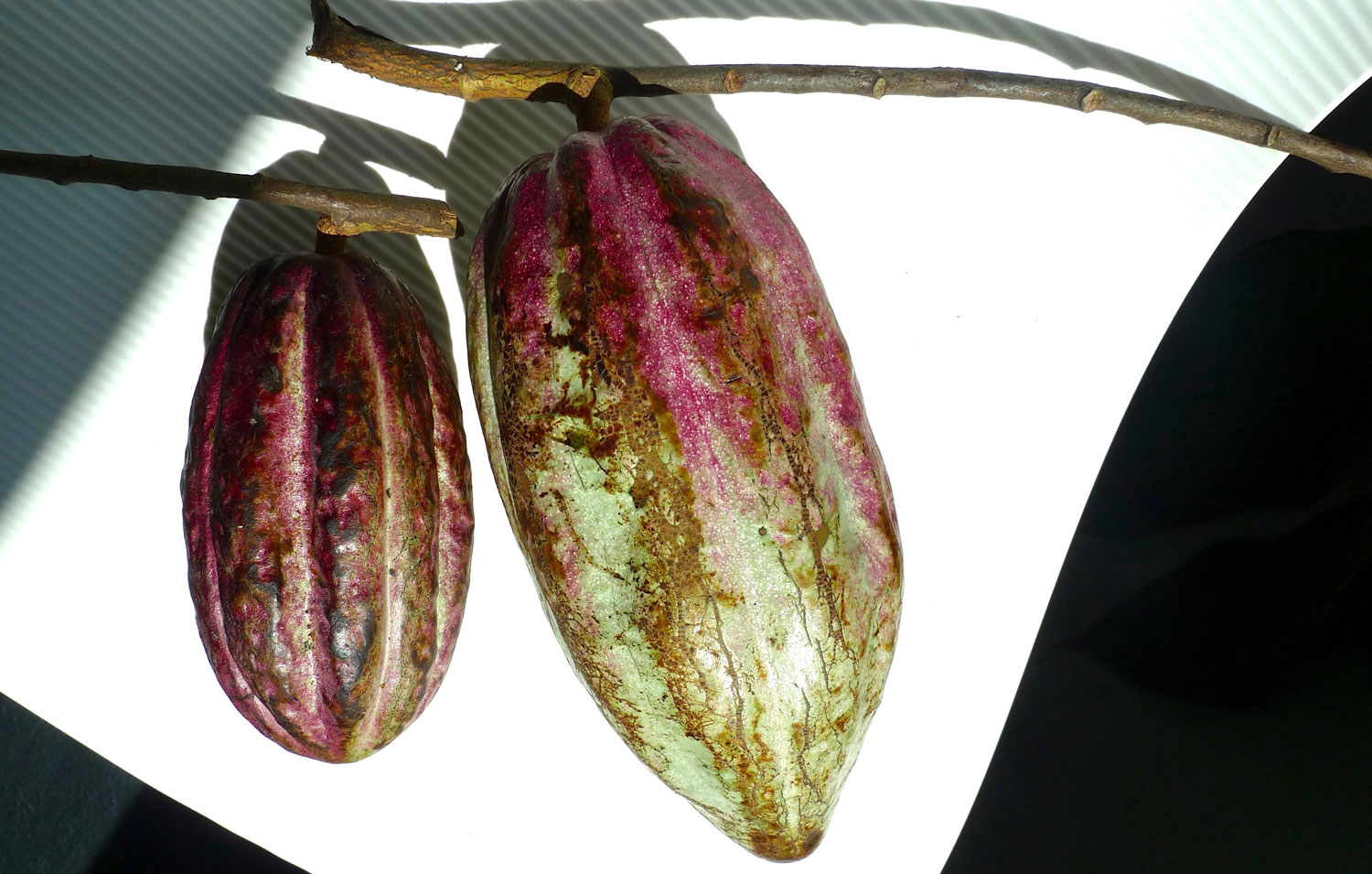 The cacao fruit (Photo by Felice P. Sta. Maria)