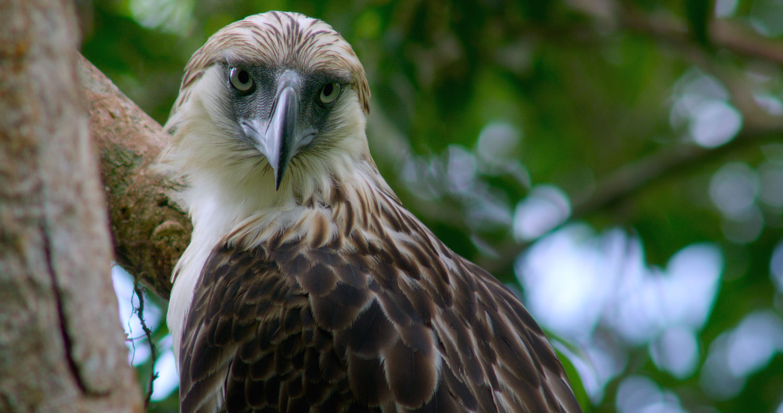 The Philippine Eagle (Photo courtesy of the Cornell Lab of Orinthology)