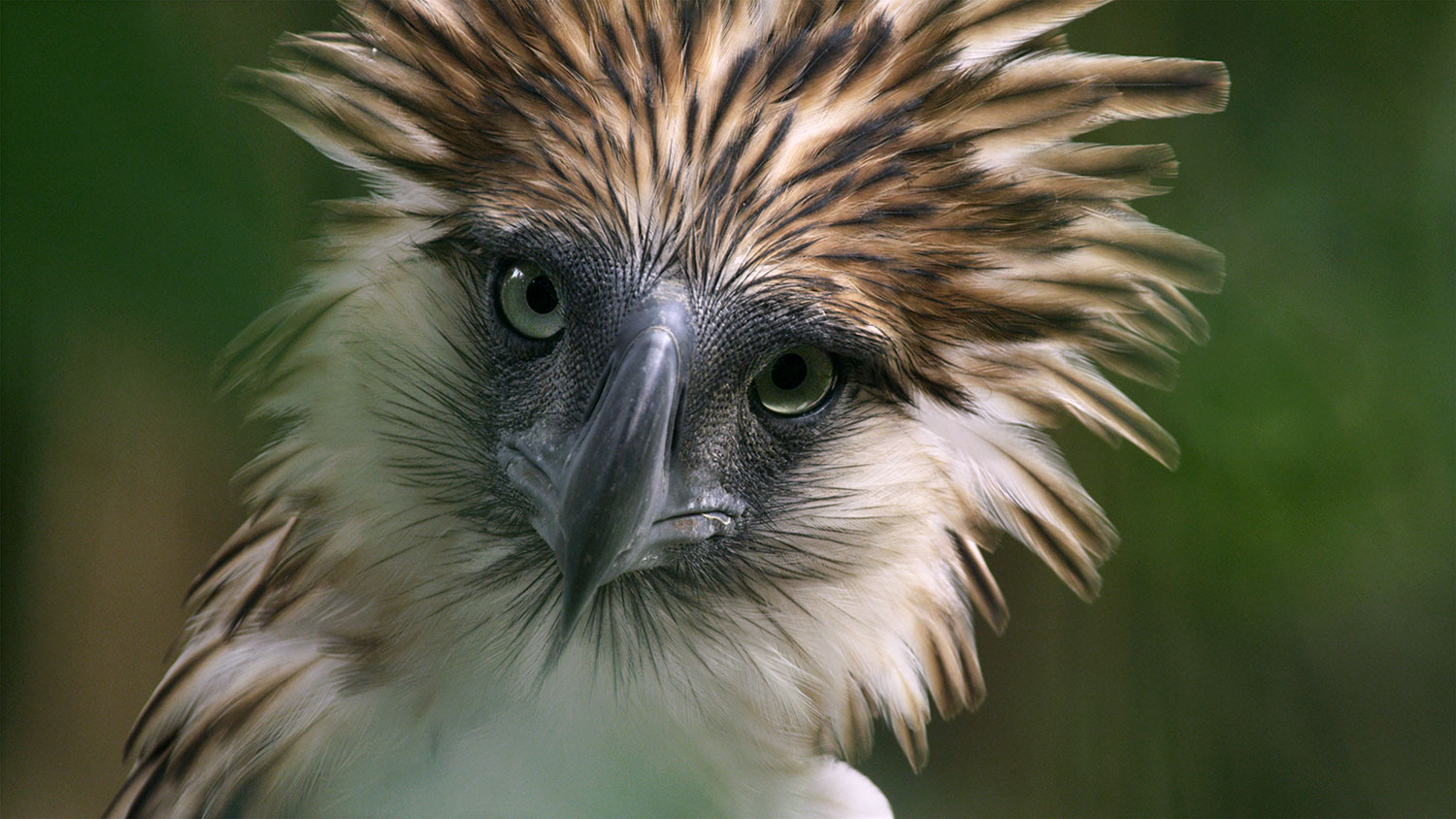 A close-up of the Philippine Eagle with its head feathers raised (Photo courtesy of the Cornell Lab of Orinthology)