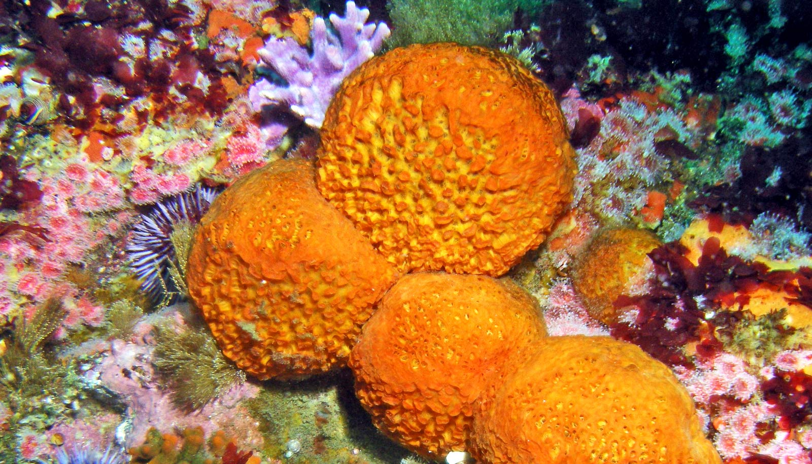 orange-puffball-sea-sponge-1600.jpg