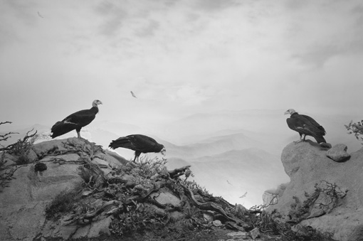 "Hiroshi Sugimoto, California Condor (1994), gelatin silver print. 47"" x 73"" (119.4 cm x 185.4 cm). Edition 1 of 5. Edition of 5. (c) Hiroshi Sugimoto, courtesy The Pace Gallery"
