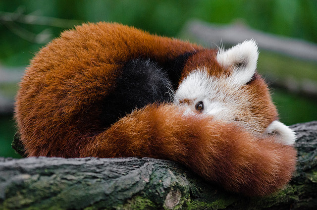 Red Panda by Mathlas Appel [Public Domain], via Flickr. View the original image  here