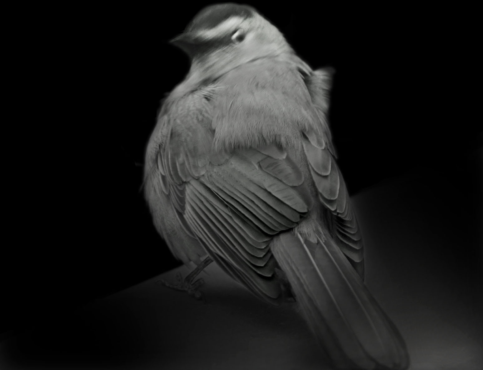 Gray Catbird, 2015. Copyright Elliot Ross. All rights reserved