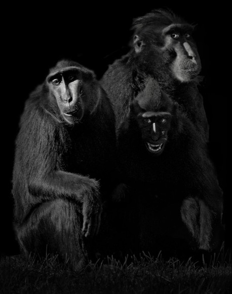 Celebes Crested Macaques, 2015. Copyright Elliot Ross. All rights reserved