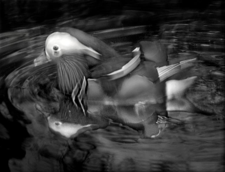 Mandarin Duck, 2015. Copyright Elliot Ross. All rights reserved