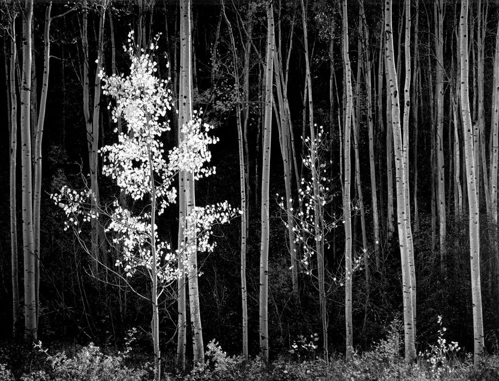Ansel Adams. Aspens, Northern, New Mexico, 1958. Gelatin silver print, 1975. Image courtesy of Alan Klotz Gallery, New York NY