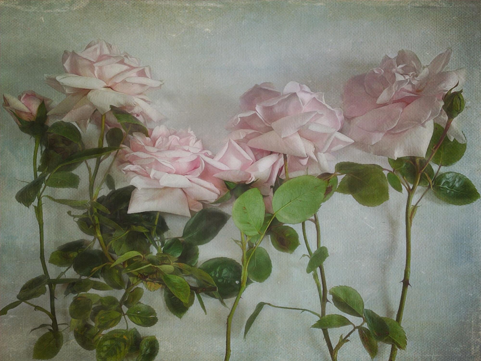 Rose 2a.JPG