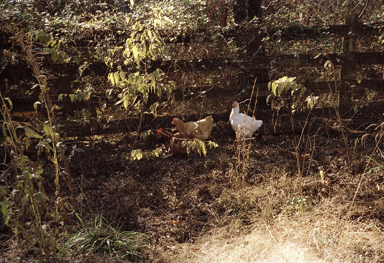 hens running.jpg