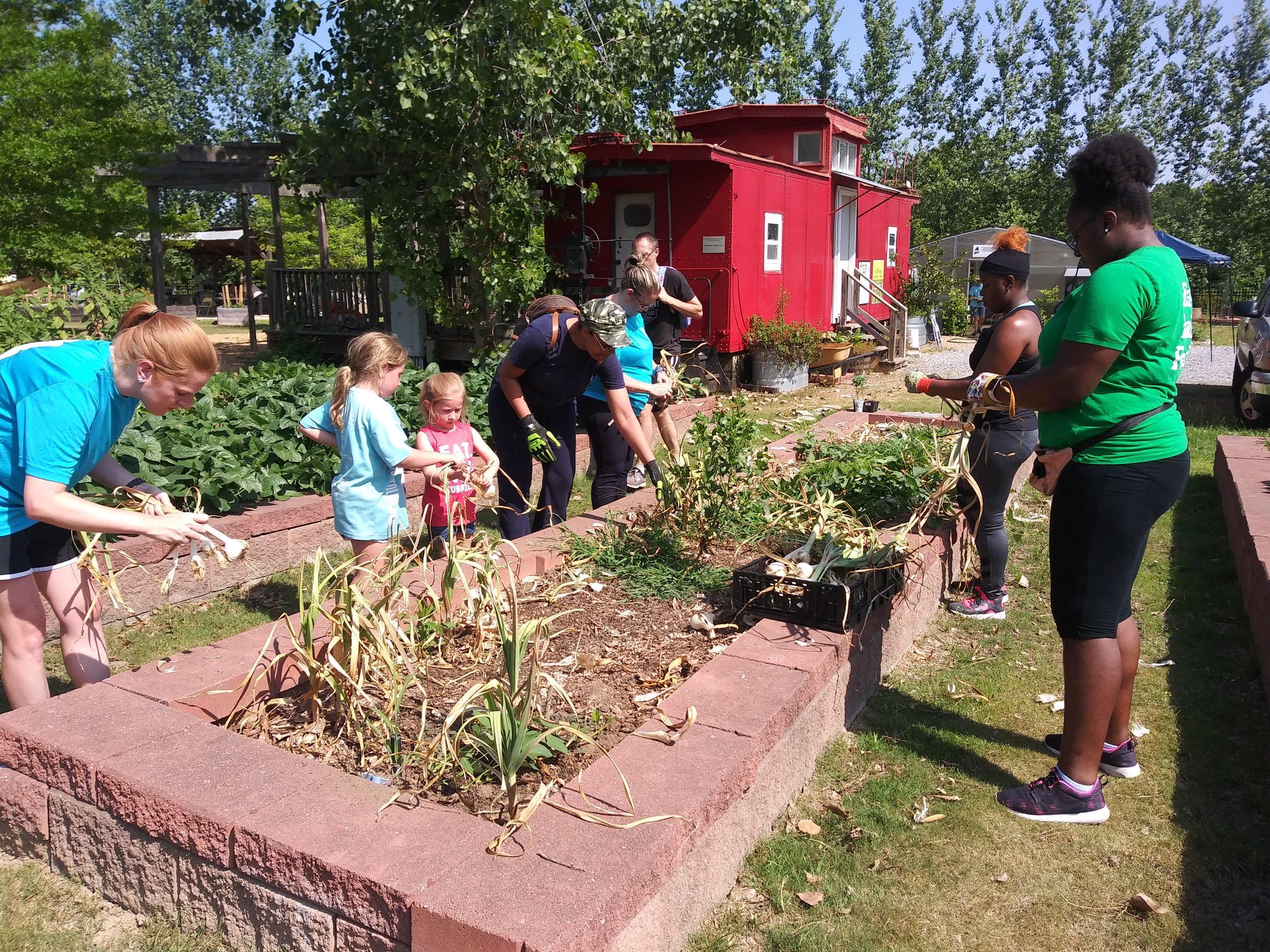 First Saturday volunteers harvesting garlic in June.
