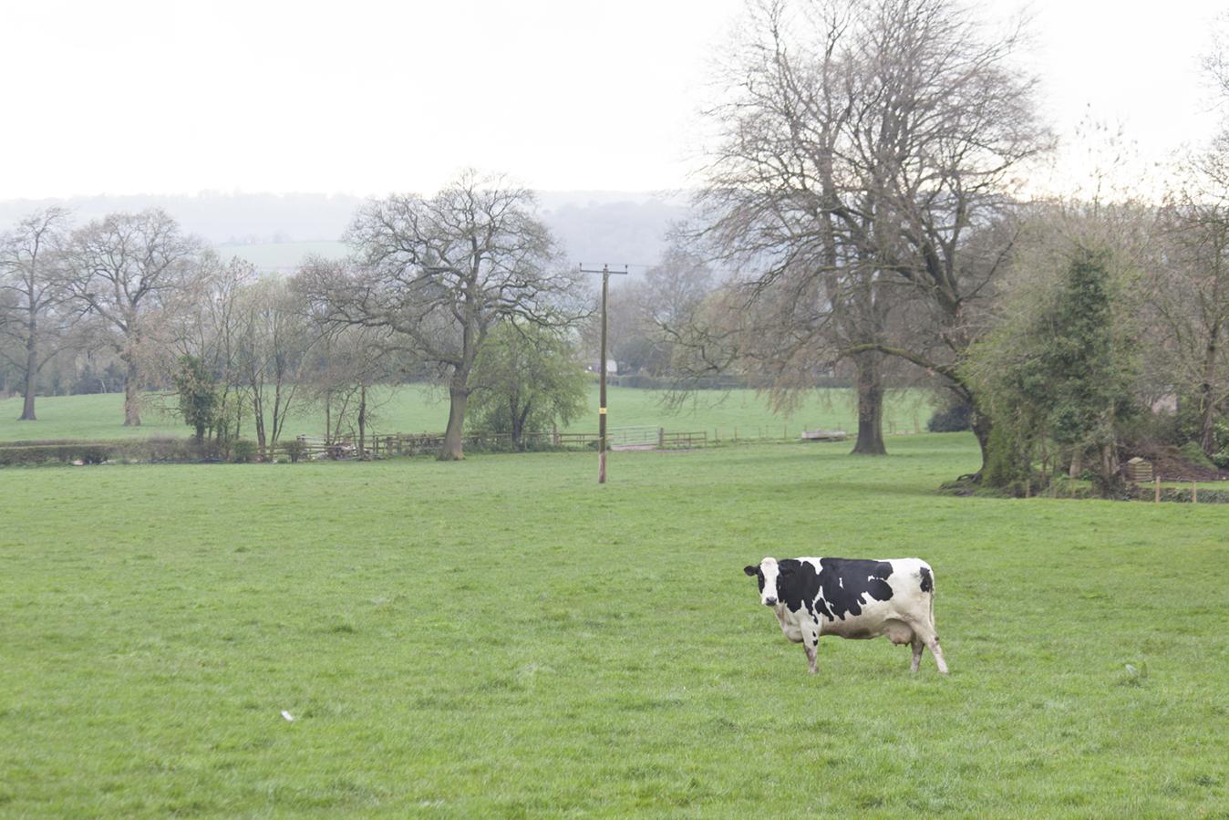 1_cow.jpg