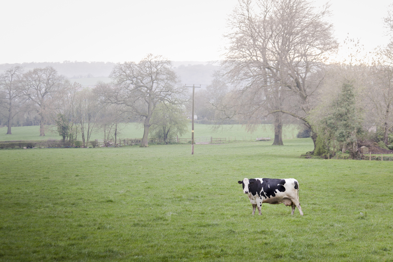 2_cow.jpg