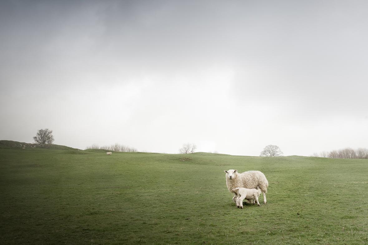 2_sheeps.jpg
