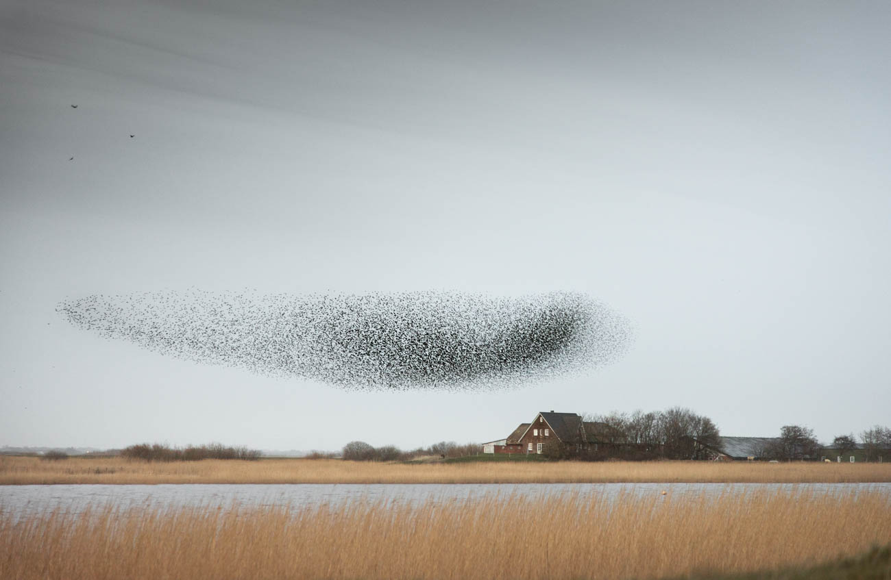 A flock of starlings, dancing magical patterns in the skies above the marches of Tønder. What a spectacular sight to see.