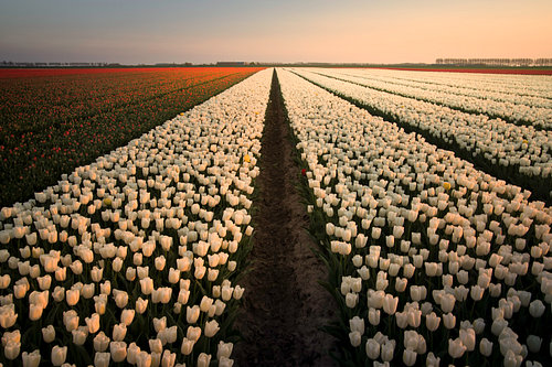 Sunset on a Dutch tulipfield