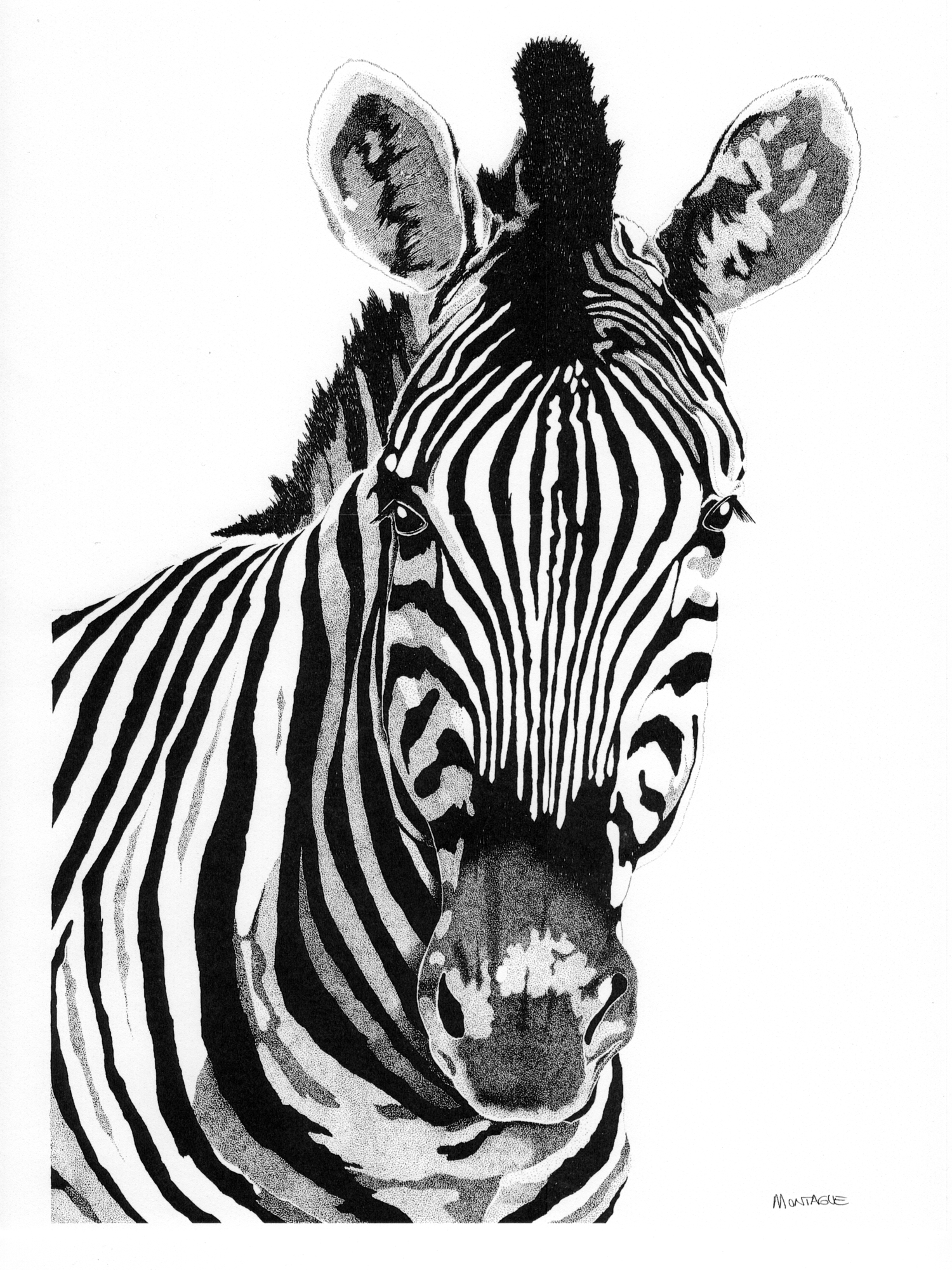 Burchell's Zebra • © Fred Montague  $185 • Photolithograph • image 19 x 26 unmatted   Edition size: 880 • status: available