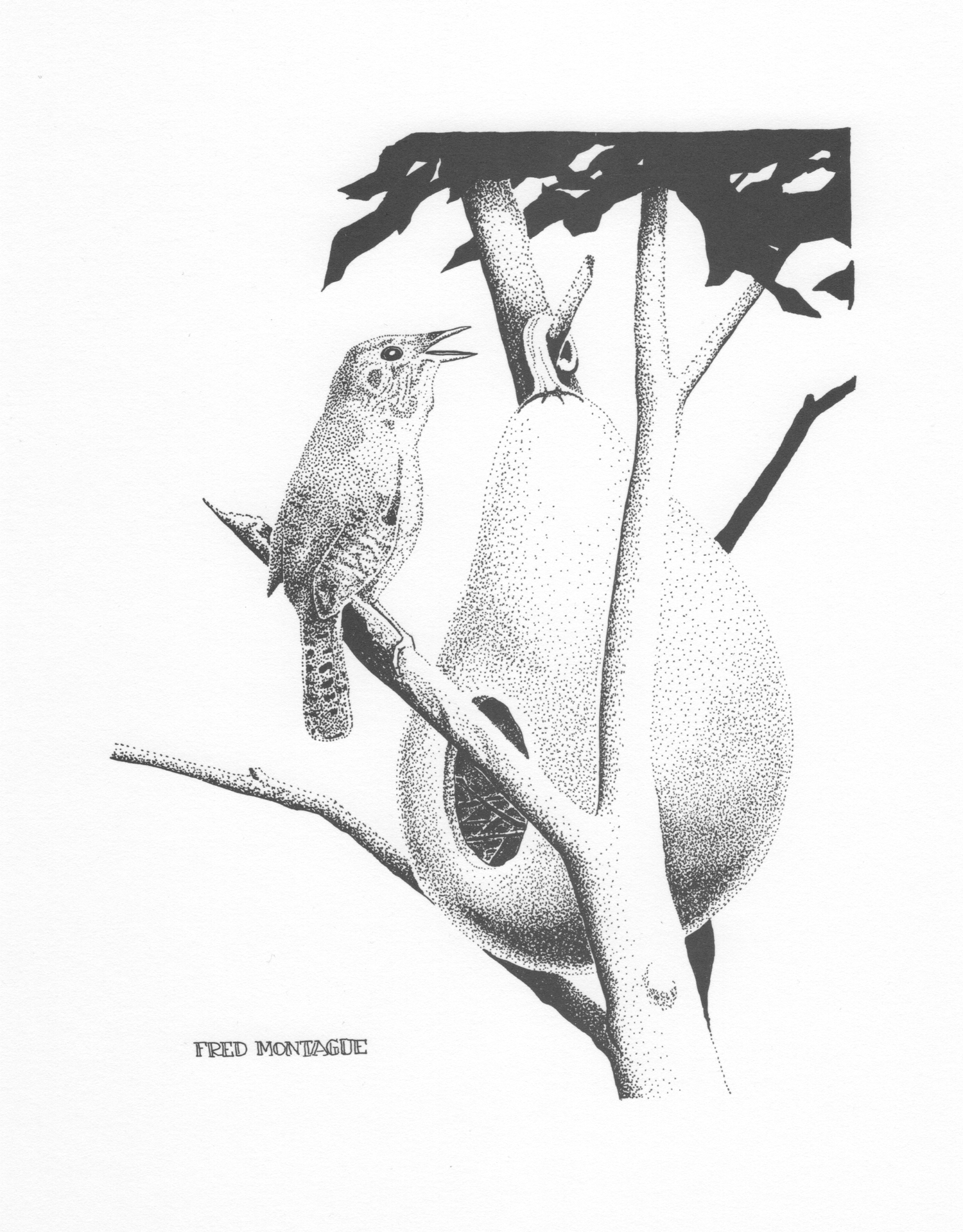House Wren • © Fred Montague  $40 • Photolithograph • image5 x 6.5  matted 8 x 10   Edition size: 200 • status: available