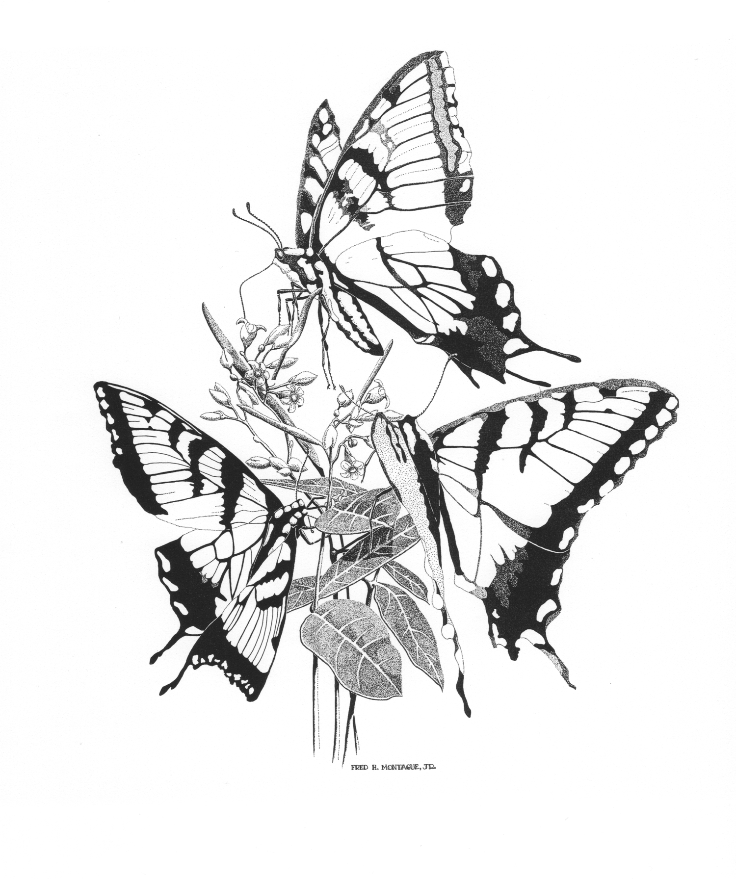 Swallowtails and Dogbane • © Fred Montague  Photolithograph  Status: Sold Out