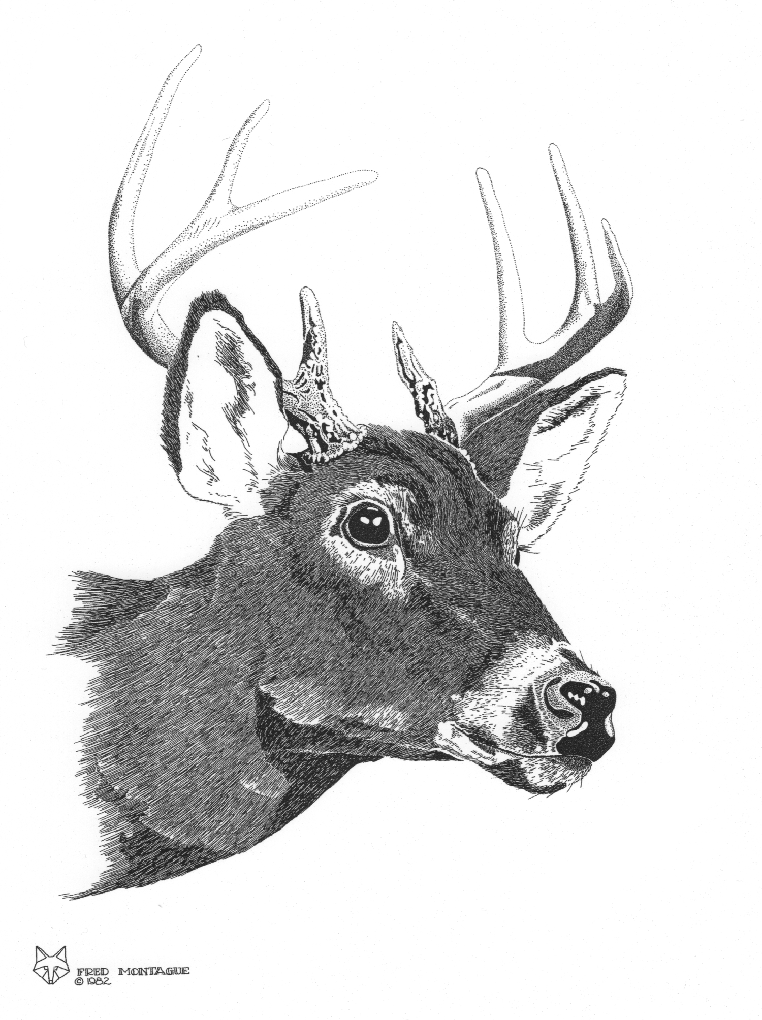 Whitetail Buck© Fred Montague  $65 • Photolithograph • image 14 x 17 matted 20 x 24  Edition size: 200 • status: available
