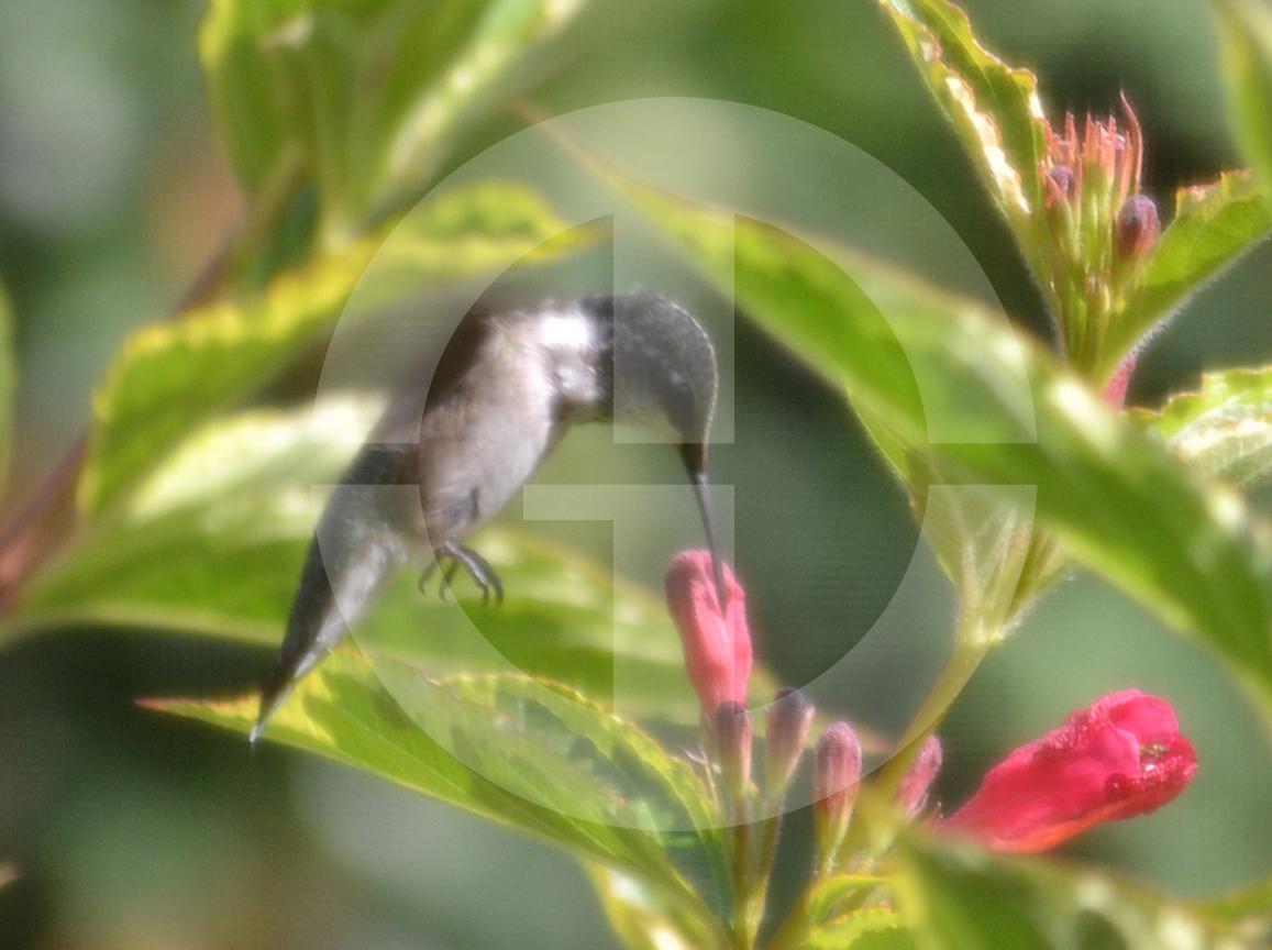 MasikHummingbird.jpg