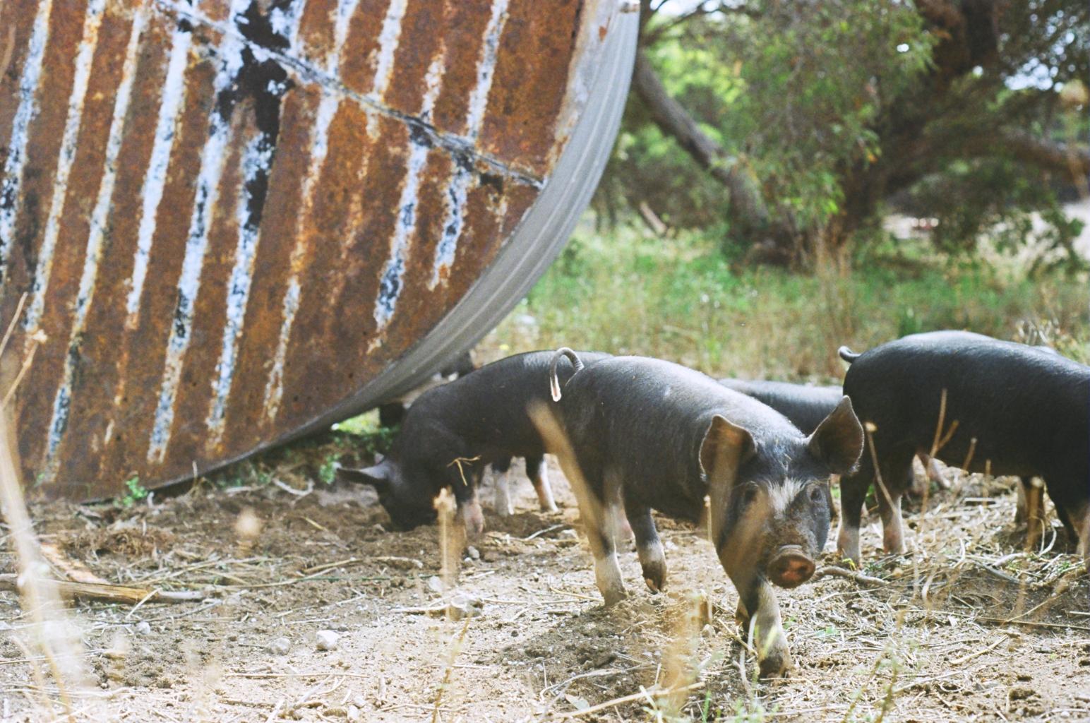 organic pig farm SA