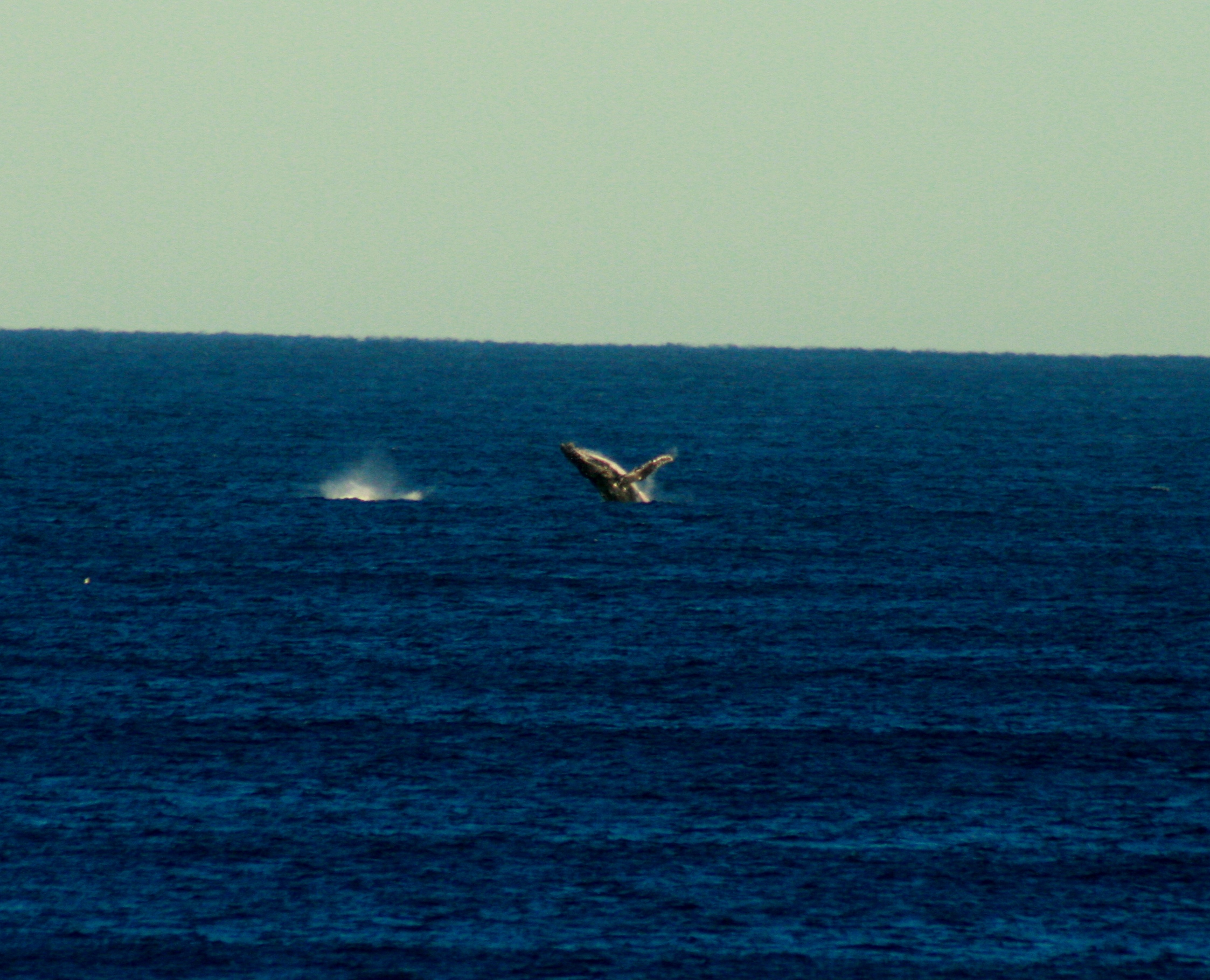 The whole trip was non-stop Humpback aerial action. Photo: Tom Nagle