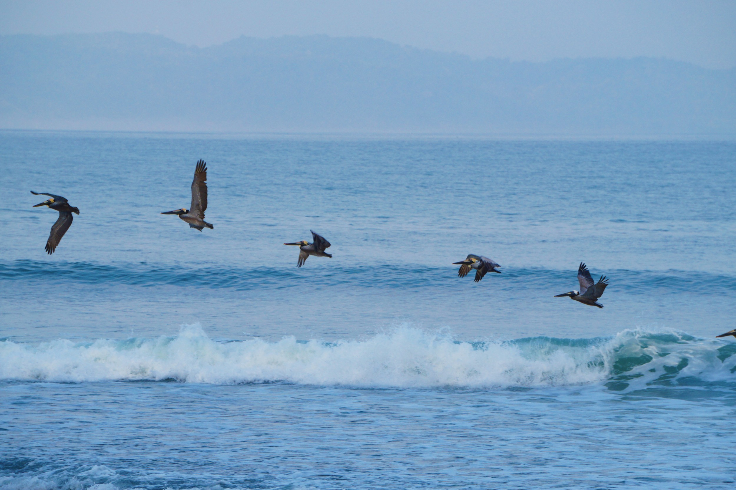 Pacific Brown Pelicans are as hungry for surf as any star gazer, seen here doing a 'mainy' on a flat day