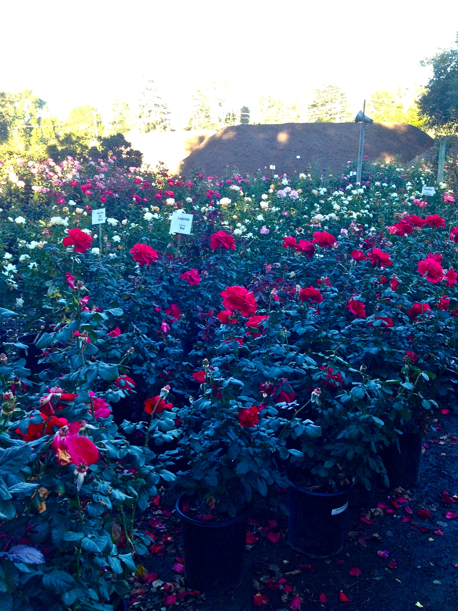 Hybrid Tea Roses are the easiest to grow in the Los Angeles climate, and give off the most scent!