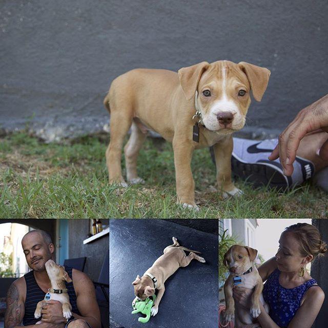 New edition to the home ✨🐶 Hey there lil' guy!! #aPupNamedShabba 📣#dogsofinstagram #pitbullpuppy #puppylove #MrLoverMan