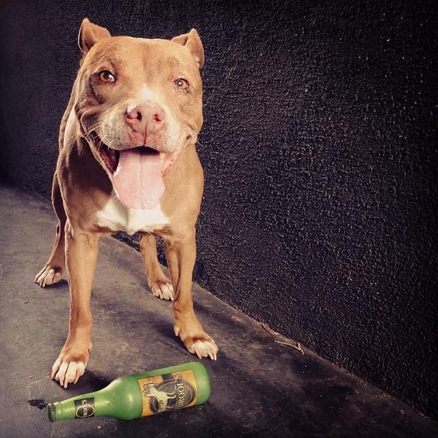 Cheeba taking a break w/ her O'Drools.. #gofetch #pitbull #doggydogworld #midcity   Cheebita!! ❤️ I love her | @mingointhedance has tha best doggy eva!!