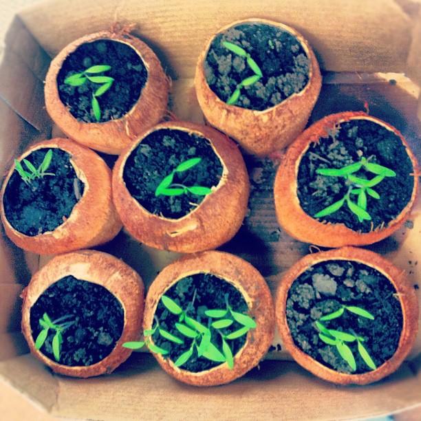 Heirloom tomato seedlings planted in coconut shells