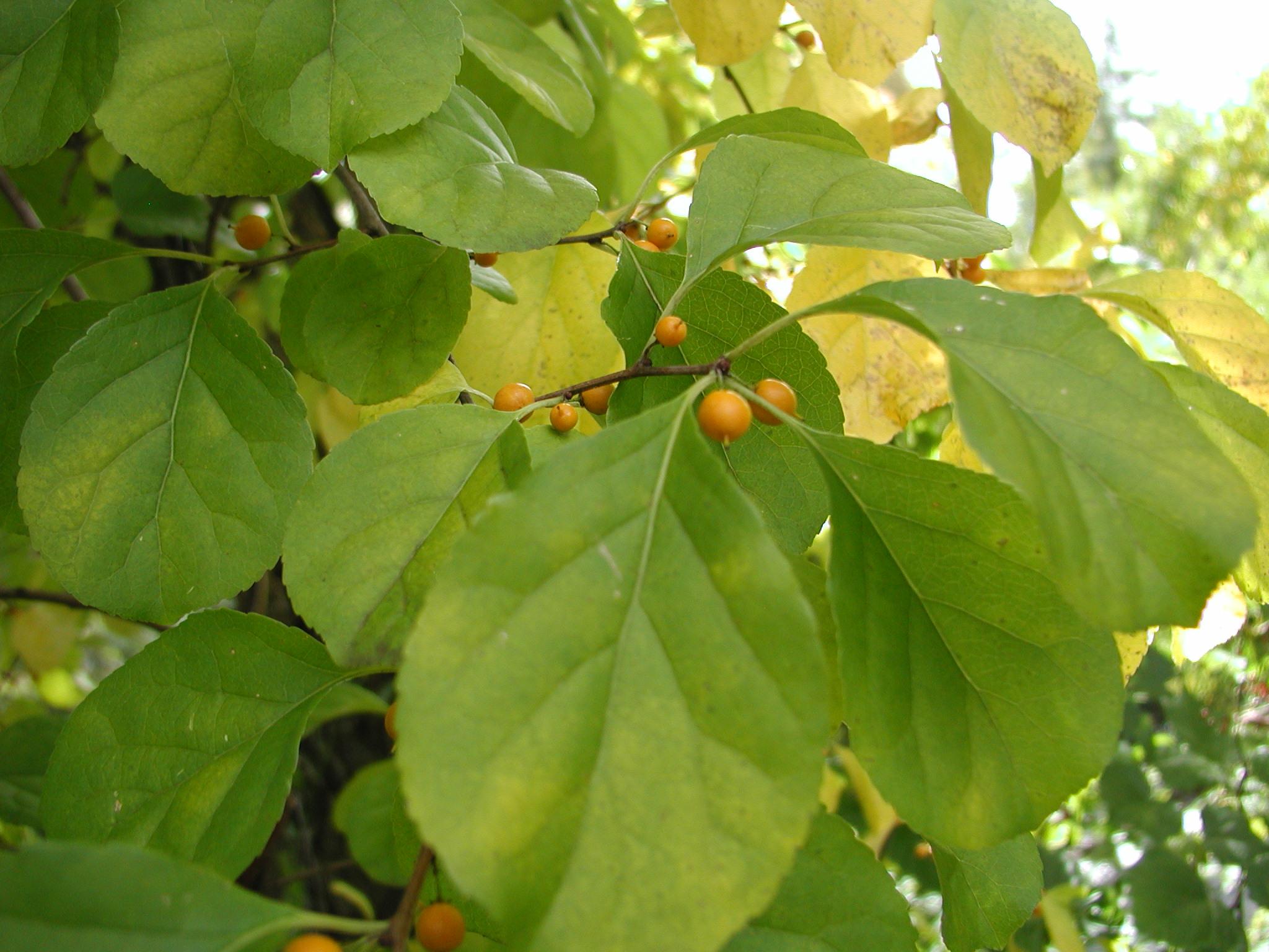 ASIATIC BITTERSWEET (CELASTRUS ORBICULATUS) Leaves, Berries, Seeds