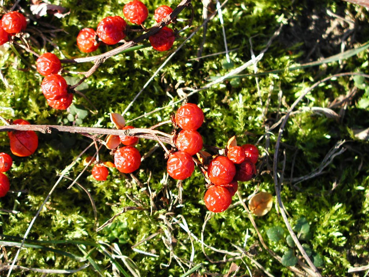 ASIATIC BITTERSWEET (CELASTRUS ORBICULATUS) Berries, Seeds