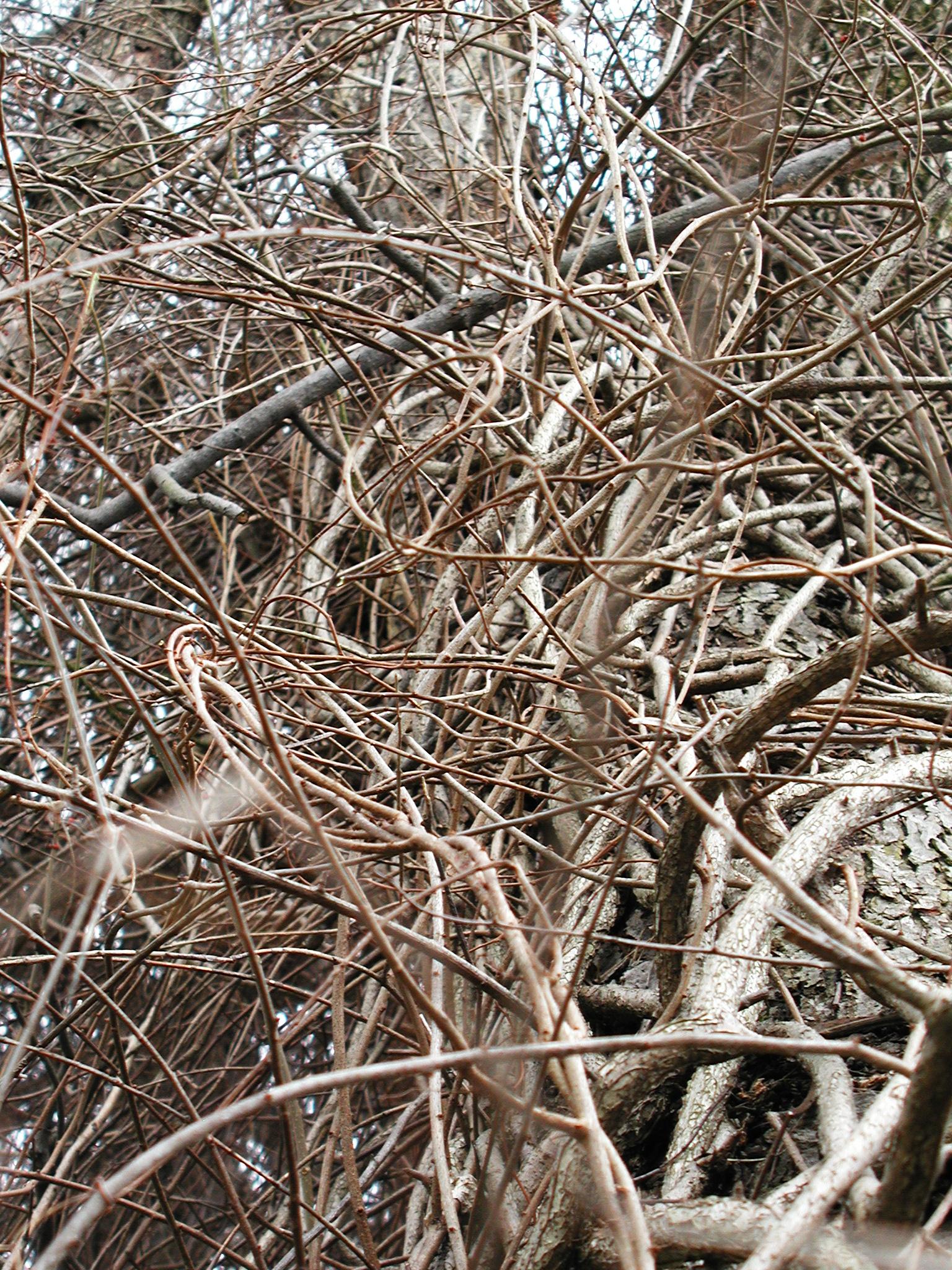 ASIATIC BITTERSWEET (CELASTRUS ORBICULATUS) Vine
