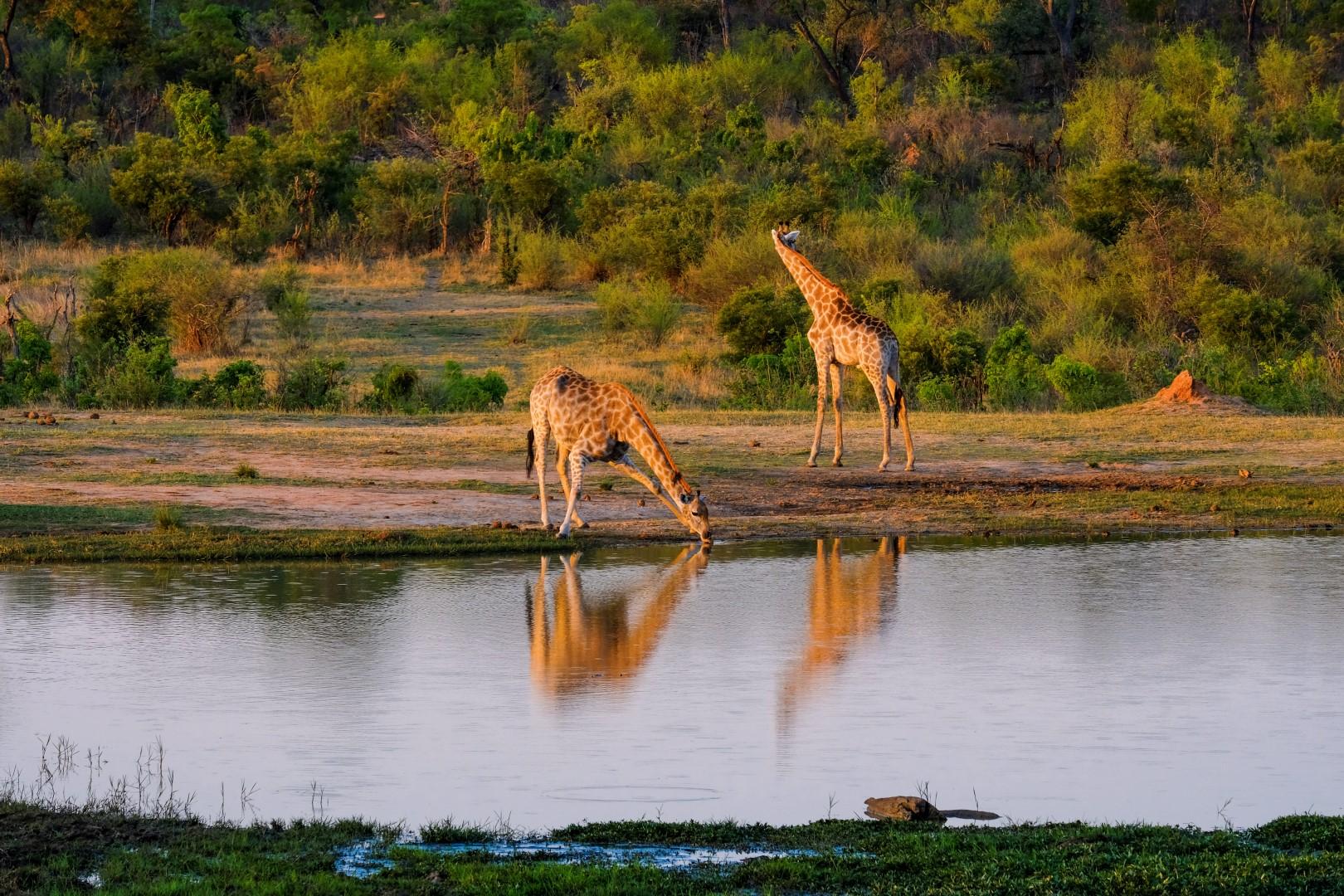 How Giraffes Drink