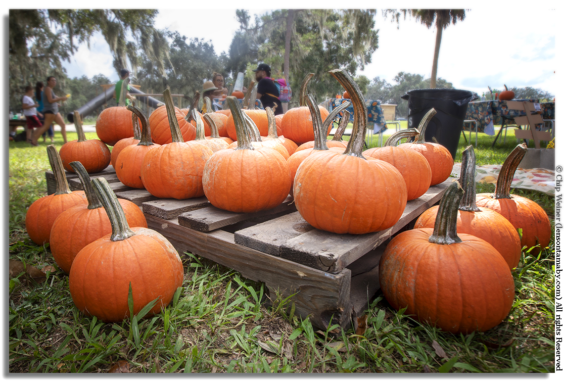 It must be fall. Look at these gorgeous gourds, part of the pumpkin patch. Pumpkins are available for purchase, painting, slinging, or just enjoying.