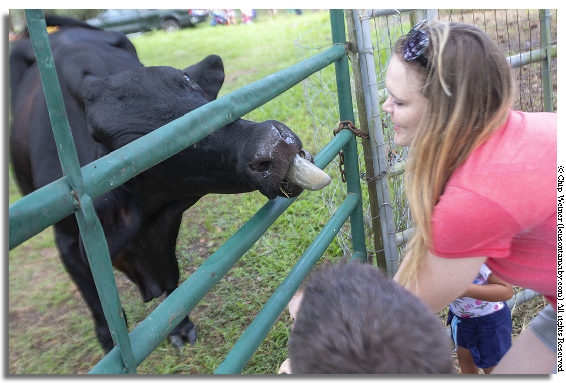Pucker up.!This bovine shows a little bit of country love while kids feed her hay. You've not lived until you've been kissed by a cow.