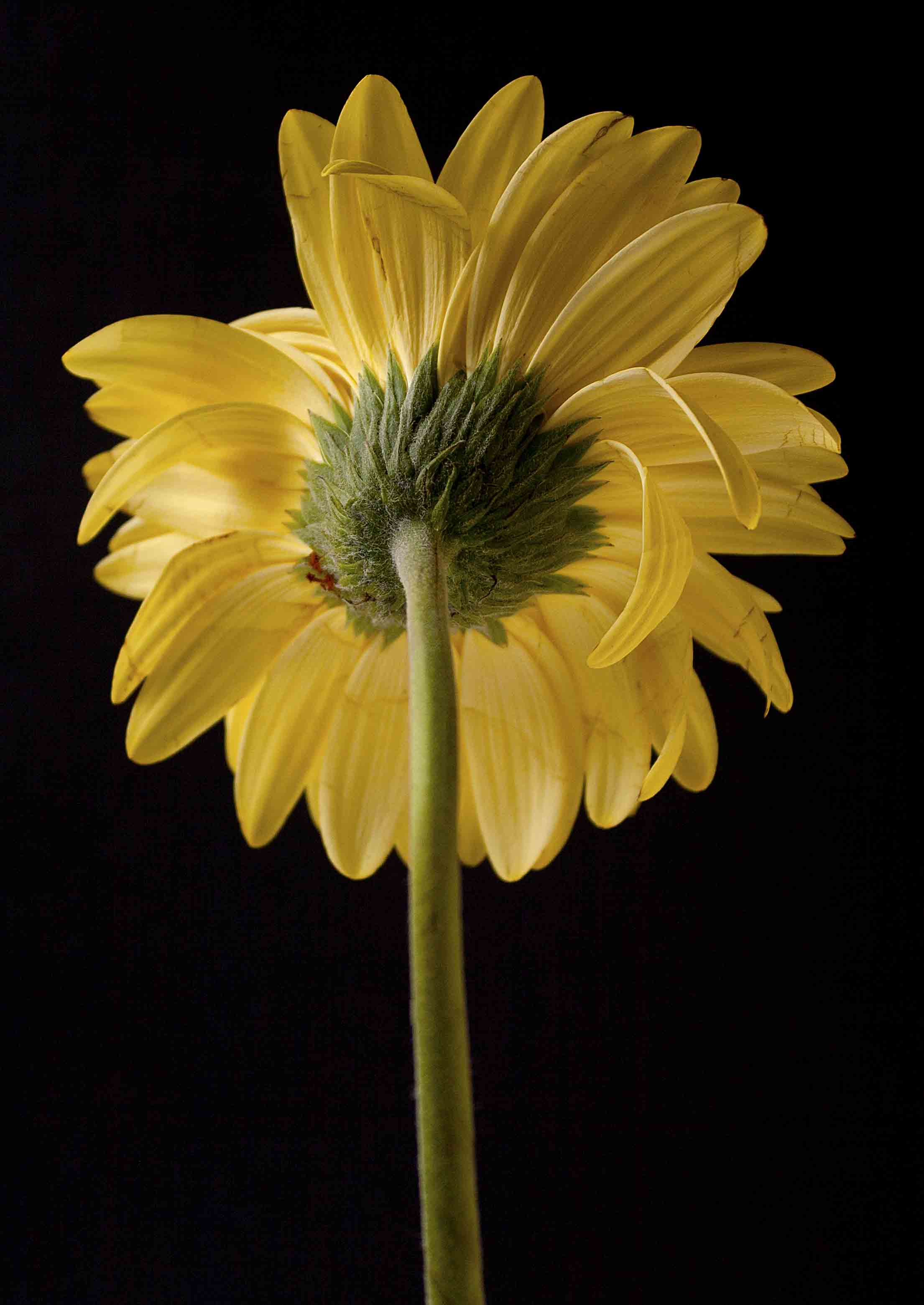 yellowdaisyback.jpg