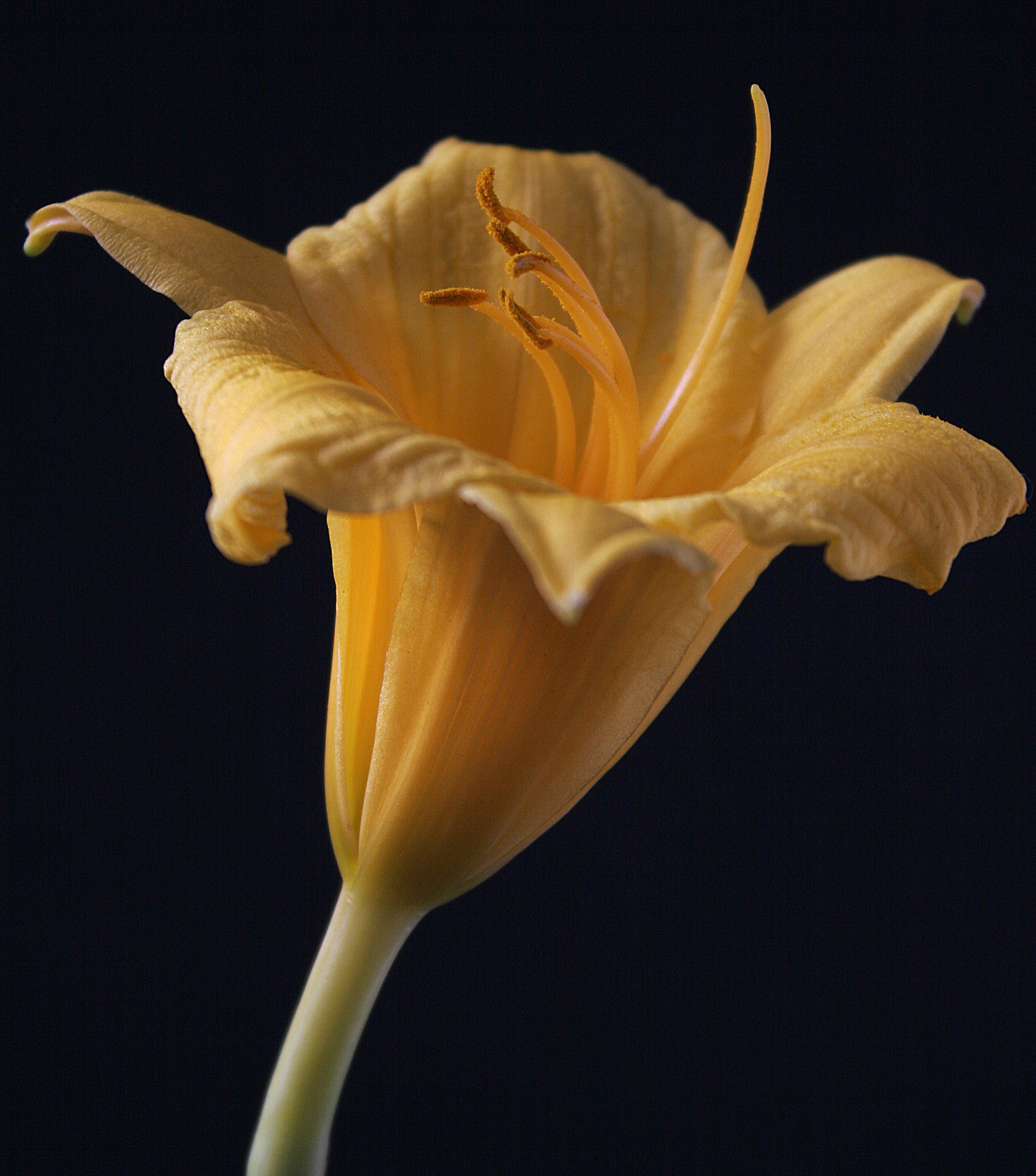 yellowdaffodil.jpg
