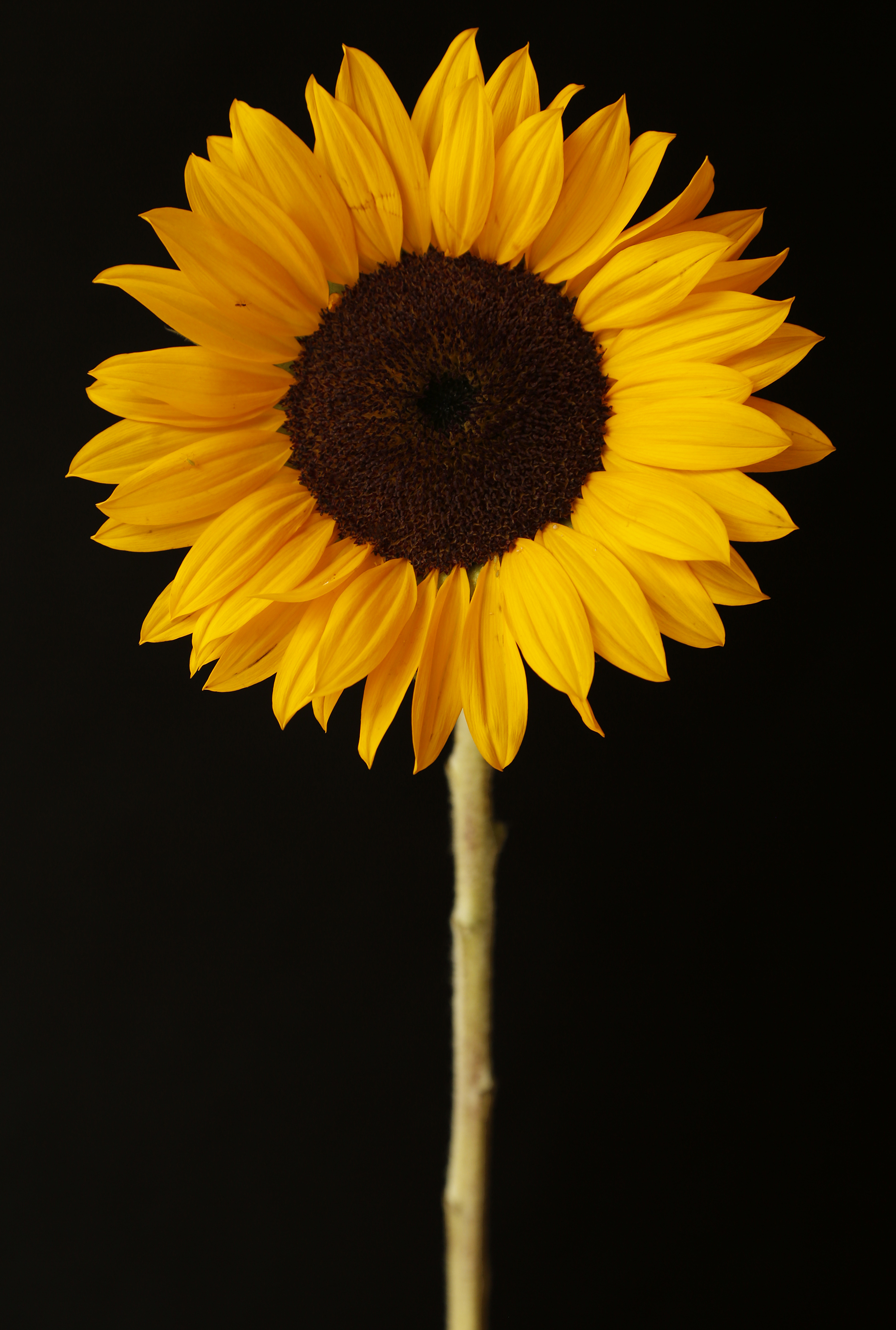 sunflower1.jpg