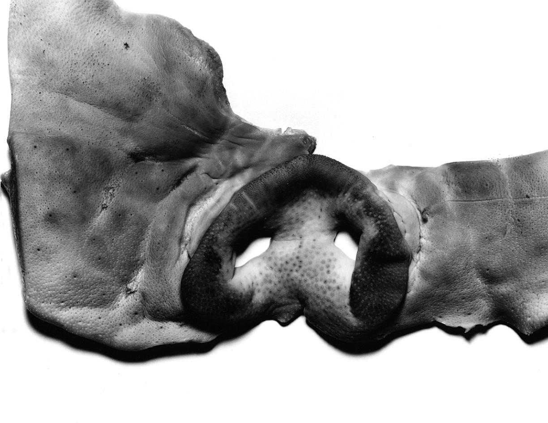 pig's snoutbw.jpg