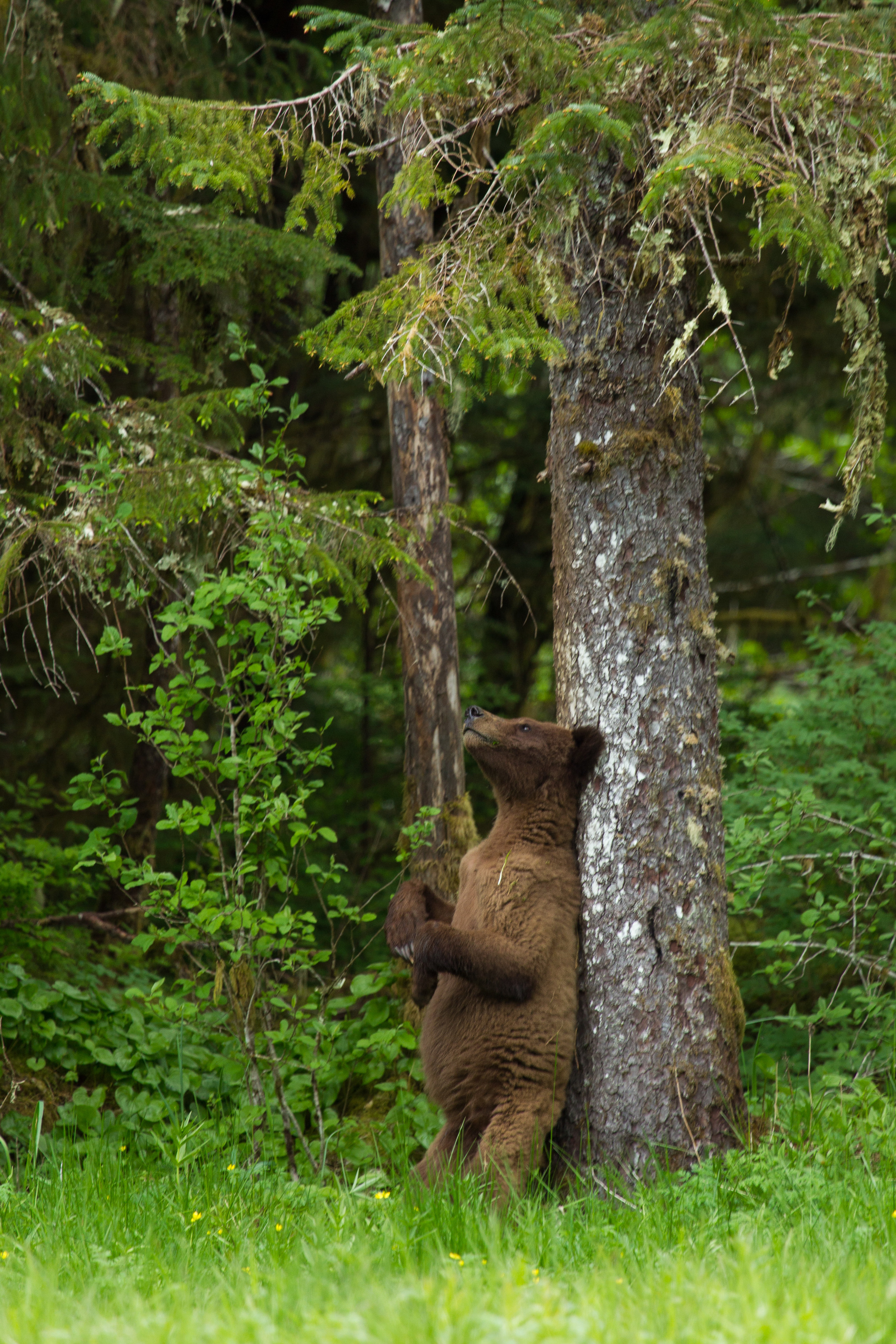 Brown Bear Cub with an Itch
