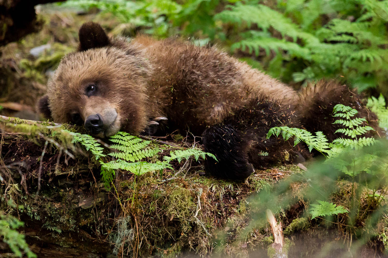 Napping Brown Bear